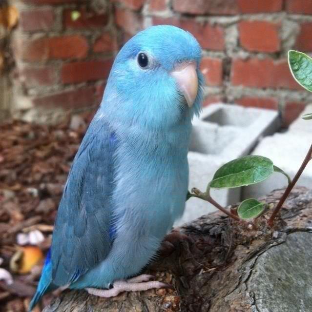 parrotlets