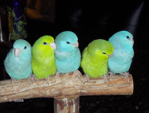 selling parrotlets